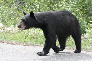 amerikanischer Schwarzbär in Florida