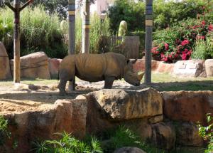 Nashorn in Tampas Busch Gardens Freizeitpark